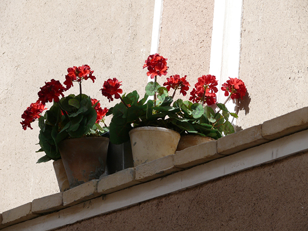 http://fasleasheghi.persiangig.com/image/mordad/Red%20Geraniums.jpg